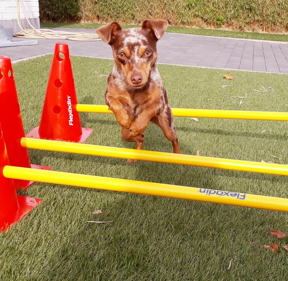 Zorgprogramma voor oudere honden, dap joke pottie, dierenarts Gistel